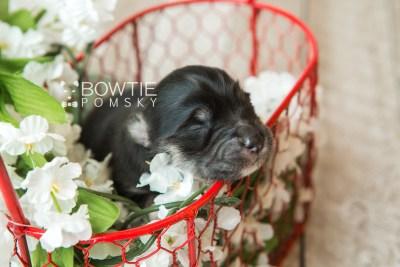 puppy73 week1 BowTiePomsky.com Bowtie Pomsky Puppy For Sale Husky Pomeranian Mini Dog Spokane WA Breeder Blue Eyes Pomskies web2