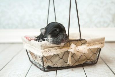 puppy73 week1 BowTiePomsky.com Bowtie Pomsky Puppy For Sale Husky Pomeranian Mini Dog Spokane WA Breeder Blue Eyes Pomskies web3