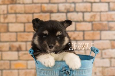 puppy73 week5 BowTiePomsky.com Bowtie Pomsky Puppy For Sale Husky Pomeranian Mini Dog Spokane WA Breeder Blue Eyes Pomskies web3