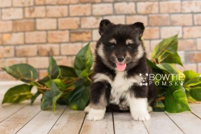 puppy73 week5 BowTiePomsky.com Bowtie Pomsky Puppy For Sale Husky Pomeranian Mini Dog Spokane WA Breeder Blue Eyes Pomskies web5