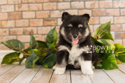puppy73 week5 BowTiePomsky.com Bowtie Pomsky Puppy For Sale Husky Pomeranian Mini Dog Spokane WA Breeder Blue Eyes Pomskies web5