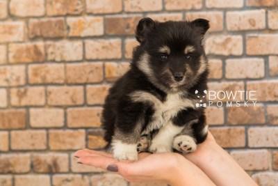 puppy73 week5 BowTiePomsky.com Bowtie Pomsky Puppy For Sale Husky Pomeranian Mini Dog Spokane WA Breeder Blue Eyes Pomskies web6