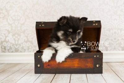 puppy73 week7 BowTiePomsky.com Bowtie Pomsky Puppy For Sale Husky Pomeranian Mini Dog Spokane WA Breeder Blue Eyes Pomskies web3