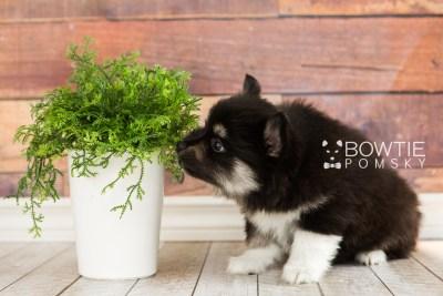 puppy73 week7 BowTiePomsky.com Bowtie Pomsky Puppy For Sale Husky Pomeranian Mini Dog Spokane WA Breeder Blue Eyes Pomskies web5