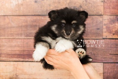 puppy73 week7 BowTiePomsky.com Bowtie Pomsky Puppy For Sale Husky Pomeranian Mini Dog Spokane WA Breeder Blue Eyes Pomskies web6