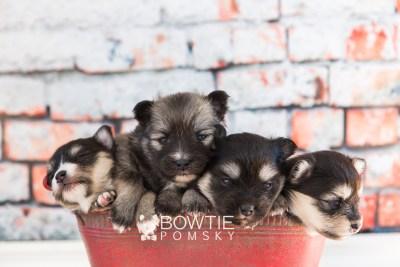 puppy74-77 week3 BowTiePomsky.com Bowtie Pomsky Puppy For Sale Husky Pomeranian Mini Dog Spokane WA Breeder Blue Eyes Pomskies web3