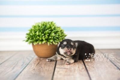 puppy74 week1 BowTiePomsky.com Bowtie Pomsky Puppy For Sale Husky Pomeranian Mini Dog Spokane WA Breeder Blue Eyes Pomskies web1