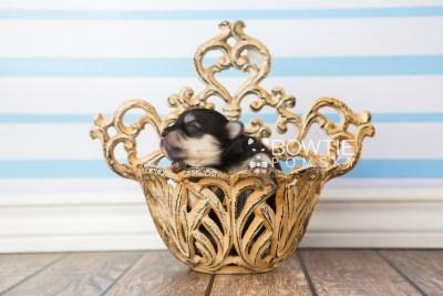 puppy74 week1 BowTiePomsky.com Bowtie Pomsky Puppy For Sale Husky Pomeranian Mini Dog Spokane WA Breeder Blue Eyes Pomskies web4
