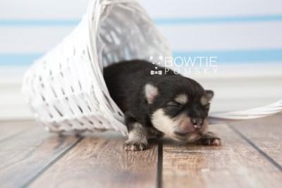 puppy74 week1 BowTiePomsky.com Bowtie Pomsky Puppy For Sale Husky Pomeranian Mini Dog Spokane WA Breeder Blue Eyes Pomskies web5