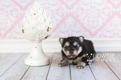 puppy74 week3 BowTiePomsky.com Bowtie Pomsky Puppy For Sale Husky Pomeranian Mini Dog Spokane WA Breeder Blue Eyes Pomskies web1