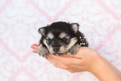 puppy74 week3 BowTiePomsky.com Bowtie Pomsky Puppy For Sale Husky Pomeranian Mini Dog Spokane WA Breeder Blue Eyes Pomskies web3
