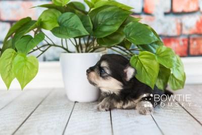 puppy74 week3 BowTiePomsky.com Bowtie Pomsky Puppy For Sale Husky Pomeranian Mini Dog Spokane WA Breeder Blue Eyes Pomskies web5