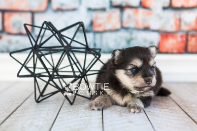 puppy74 week3 BowTiePomsky.com Bowtie Pomsky Puppy For Sale Husky Pomeranian Mini Dog Spokane WA Breeder Blue Eyes Pomskies web6