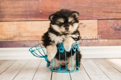 puppy74 week5 BowTiePomsky.com Bowtie Pomsky Puppy For Sale Husky Pomeranian Mini Dog Spokane WA Breeder Blue Eyes Pomskies web1