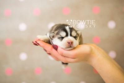 puppy75 week1 BowTiePomsky.com Bowtie Pomsky Puppy For Sale Husky Pomeranian Mini Dog Spokane WA Breeder Blue Eyes Pomskies Celebrity Puppy web6