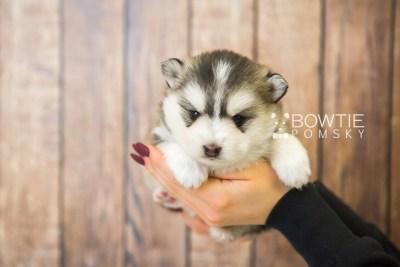 puppy75 week3 BowTiePomsky.com Bowtie Pomsky Puppy For Sale Husky Pomeranian Mini Dog Spokane WA Breeder Blue Eyes Pomskies Celebrity Puppy web2