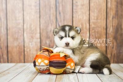 puppy75 week3 BowTiePomsky.com Bowtie Pomsky Puppy For Sale Husky Pomeranian Mini Dog Spokane WA Breeder Blue Eyes Pomskies Celebrity Puppy web4
