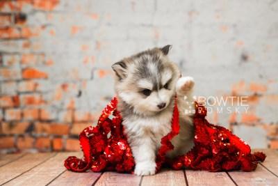 puppy75 week5 BowTiePomsky.com Bowtie Pomsky Puppy For Sale Husky Pomeranian Mini Dog Spokane WA Breeder Blue Eyes Pomskies Celebrity Puppy web1