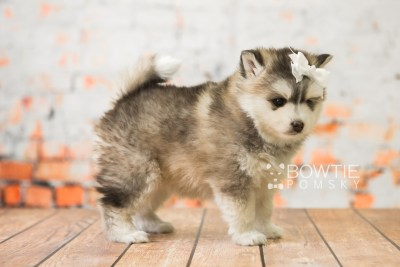 puppy75 week5 BowTiePomsky.com Bowtie Pomsky Puppy For Sale Husky Pomeranian Mini Dog Spokane WA Breeder Blue Eyes Pomskies Celebrity Puppy web6