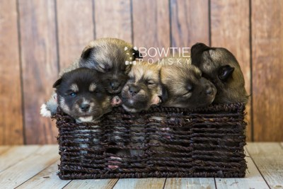 puppy76-80 week3 BowTiePomsky.com Bowtie Pomsky Puppy For Sale Husky Pomeranian Mini Dog Spokane WA Breeder Blue Eyes Pomskies Celebrity Puppy web
