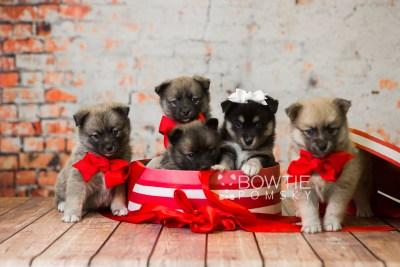 puppy76-80 week5 BowTiePomsky.com Bowtie Pomsky Puppy For Sale Husky Pomeranian Mini Dog Spokane WA Breeder Blue Eyes Pomskies Celebrity Puppy web2