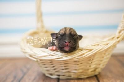 puppy76 week1 BowTiePomsky.com Bowtie Pomsky Puppy For Sale Husky Pomeranian Mini Dog Spokane WA Breeder Blue Eyes Pomskies Celebrity Puppy web1