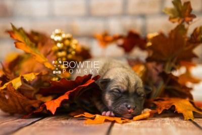 puppy76 week1 BowTiePomsky.com Bowtie Pomsky Puppy For Sale Husky Pomeranian Mini Dog Spokane WA Breeder Blue Eyes Pomskies Celebrity Puppy web5