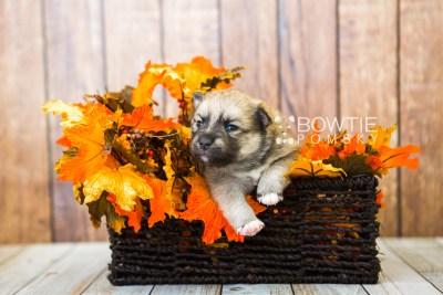 puppy76 week3 BowTiePomsky.com Bowtie Pomsky Puppy For Sale Husky Pomeranian Mini Dog Spokane WA Breeder Blue Eyes Pomskies Celebrity Puppy web1