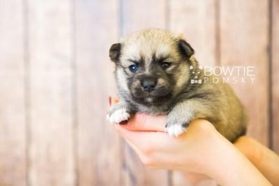 puppy76 week3 BowTiePomsky.com Bowtie Pomsky Puppy For Sale Husky Pomeranian Mini Dog Spokane WA Breeder Blue Eyes Pomskies Celebrity Puppy web6