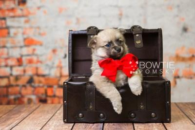 puppy76 week5 BowTiePomsky.com Bowtie Pomsky Puppy For Sale Husky Pomeranian Mini Dog Spokane WA Breeder Blue Eyes Pomskies Celebrity Puppy web4