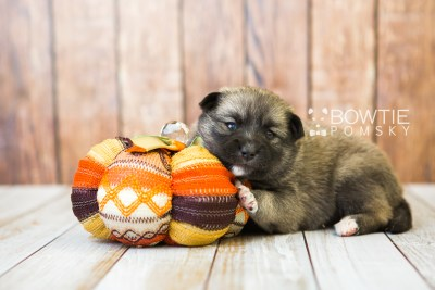 puppy77 week3 BowTiePomsky.com Bowtie Pomsky Puppy For Sale Husky Pomeranian Mini Dog Spokane WA Breeder Blue Eyes Pomskies Celebrity Puppy web3