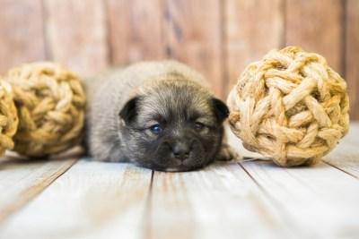 puppy77 week3 BowTiePomsky.com Bowtie Pomsky Puppy For Sale Husky Pomeranian Mini Dog Spokane WA Breeder Blue Eyes Pomskies Celebrity Puppy web5