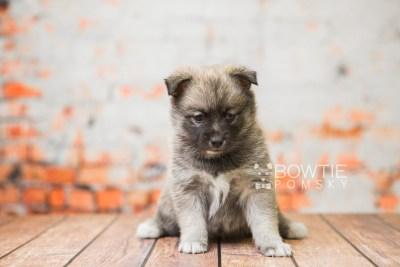puppy77 week5 BowTiePomsky.com Bowtie Pomsky Puppy For Sale Husky Pomeranian Mini Dog Spokane WA Breeder Blue Eyes Pomskies Celebrity Puppy web2