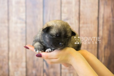 puppy78 week3 BowTiePomsky.com Bowtie Pomsky Puppy For Sale Husky Pomeranian Mini Dog Spokane WA Breeder Blue Eyes Pomskies Celebrity Puppy web1