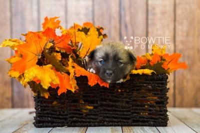 puppy78 week3 BowTiePomsky.com Bowtie Pomsky Puppy For Sale Husky Pomeranian Mini Dog Spokane WA Breeder Blue Eyes Pomskies Celebrity Puppy web5