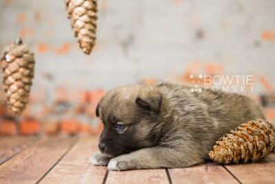 puppy78 week5 BowTiePomsky.com Bowtie Pomsky Puppy For Sale Husky Pomeranian Mini Dog Spokane WA Breeder Blue Eyes Pomskies Celebrity Puppy web3