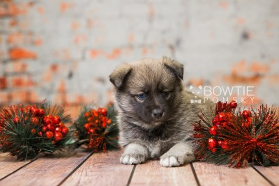 puppy78 week5 BowTiePomsky.com Bowtie Pomsky Puppy For Sale Husky Pomeranian Mini Dog Spokane WA Breeder Blue Eyes Pomskies Celebrity Puppy web5