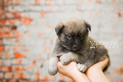 puppy78 week5 BowTiePomsky.com Bowtie Pomsky Puppy For Sale Husky Pomeranian Mini Dog Spokane WA Breeder Blue Eyes Pomskies Celebrity Puppy web6