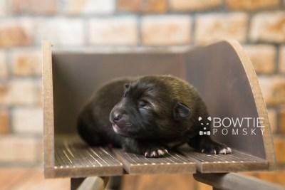 puppy79 week1 BowTiePomsky.com Bowtie Pomsky Puppy For Sale Husky Pomeranian Mini Dog Spokane WA Breeder Blue Eyes Pomskies Celebrity Puppy web4