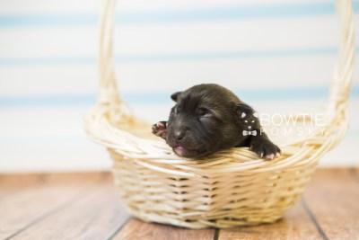 puppy79 week1 BowTiePomsky.com Bowtie Pomsky Puppy For Sale Husky Pomeranian Mini Dog Spokane WA Breeder Blue Eyes Pomskies Celebrity Puppy web6