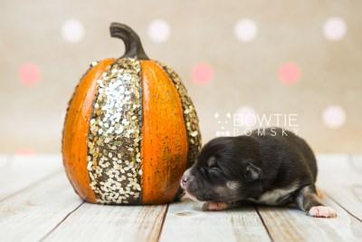 puppy80 week1 BowTiePomsky.com Bowtie Pomsky Puppy For Sale Husky Pomeranian Mini Dog Spokane WA Breeder Blue Eyes Pomskies Celebrity Puppy web4