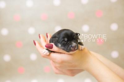 puppy80 week1 BowTiePomsky.com Bowtie Pomsky Puppy For Sale Husky Pomeranian Mini Dog Spokane WA Breeder Blue Eyes Pomskies Celebrity Puppy web6