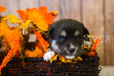 puppy80 week3 BowTiePomsky.com Bowtie Pomsky Puppy For Sale Husky Pomeranian Mini Dog Spokane WA Breeder Blue Eyes Pomskies Celebrity Puppy web6