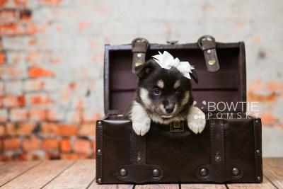 puppy80 week5 BowTiePomsky.com Bowtie Pomsky Puppy For Sale Husky Pomeranian Mini Dog Spokane WA Breeder Blue Eyes Pomskies Celebrity Puppy web1