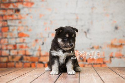 puppy80 week5 BowTiePomsky.com Bowtie Pomsky Puppy For Sale Husky Pomeranian Mini Dog Spokane WA Breeder Blue Eyes Pomskies Celebrity Puppy web2