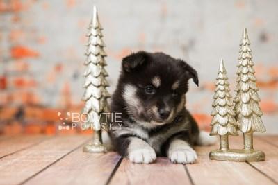 puppy80 week5 BowTiePomsky.com Bowtie Pomsky Puppy For Sale Husky Pomeranian Mini Dog Spokane WA Breeder Blue Eyes Pomskies Celebrity Puppy web5