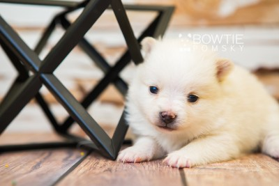 puppy81 week3 BowTiePomsky.com Bowtie Pomsky Puppy For Sale Husky Pomeranian Mini Dog Spokane WA Breeder Blue Eyes Pomskies Celebrity Puppy web5