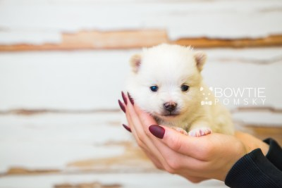 puppy81 week3 BowTiePomsky.com Bowtie Pomsky Puppy For Sale Husky Pomeranian Mini Dog Spokane WA Breeder Blue Eyes Pomskies Celebrity Puppy web6