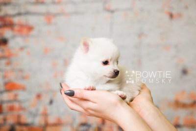 puppy81 week5 BowTiePomsky.com Bowtie Pomsky Puppy For Sale Husky Pomeranian Mini Dog Spokane WA Breeder Blue Eyes Pomskies Celebrity Puppy web1
