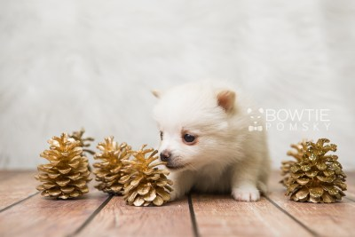 puppy81 week5 BowTiePomsky.com Bowtie Pomsky Puppy For Sale Husky Pomeranian Mini Dog Spokane WA Breeder Blue Eyes Pomskies Celebrity Puppy web5